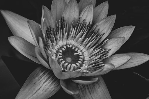 Water Lily, Blossom, Bloom, Bloom, Aquatic Plant, Water