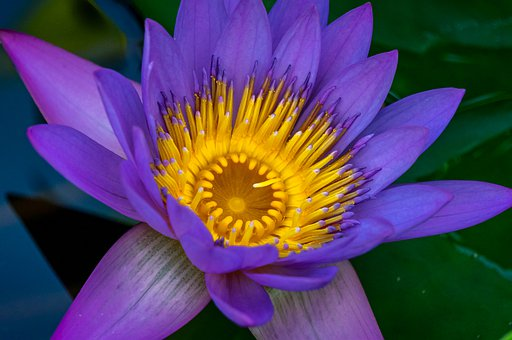 Water Lily, Blossom, Bloom, Bloom, Water, Aquatic Plant