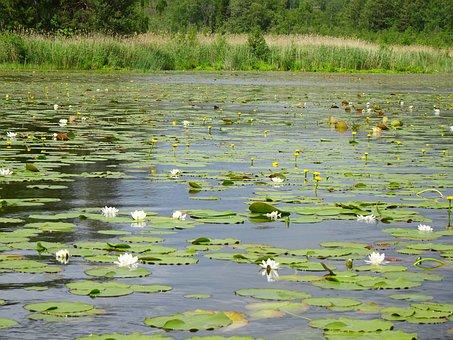 Lake, Water Lilies, Aquatic Plants, Blossom, Bloom