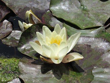 Lotus Flower, Summer, Water, Still Water, Aquatic Plant