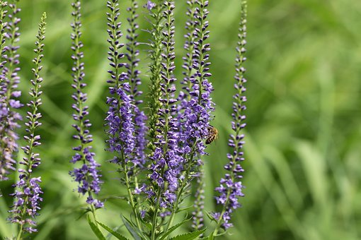 Year Old Blue Loosestrife, Year Old Honorary Award