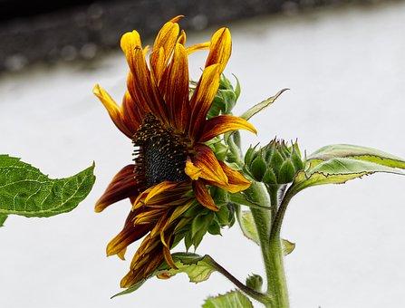 Flower, Sunflower, Blossom, Bloom, Red, Yellow, Orange
