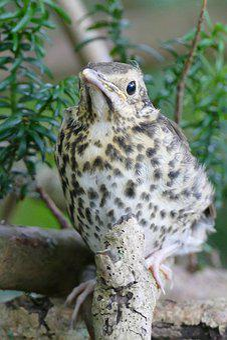 Song Thrush, Young Bird, Branching, Small, Animal World