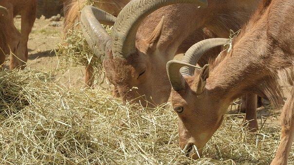 Barbary Sheep, Sheep, Ammotragus Lervia, Feast, Graze