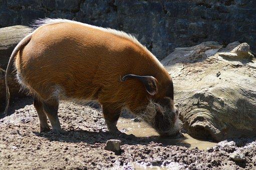Animal, Mammals, Red River Hog, Mud, Drink, Brown, Pig