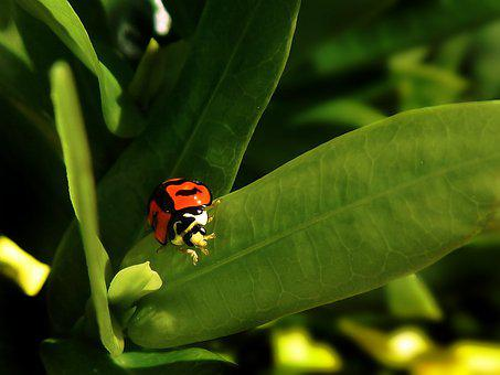Ladybug, Coquito, Green, Nature, Insect, Beetle