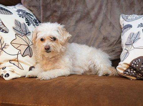 Bichon Frise Poodle Mix, Dog, Companion, Friendly