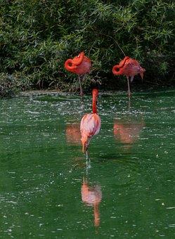 Flamingo, Birds, Waterbirds, Tall, Pink, Flamingos