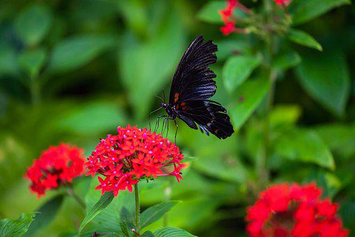 Pink Rose Butterfly, Black Butterfly, Butterfly, Insect