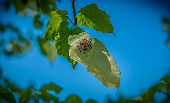 Handkerchief Tree, Blossom, Bloom, Plant, Nature, White