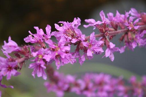 Ordinary Loosestrife, Lythrum Salicaria, Blossom, Bloom