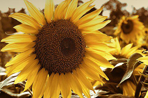 Sunflower, Helianthus, Blossom, Bloom, Tubular Flowers