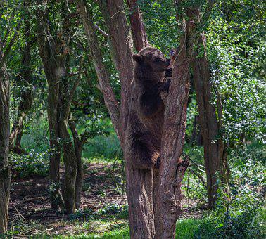 Brown Bear In A Tree, Brown Bear, Forest, Bear, Brown
