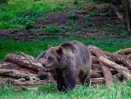 Brown Walking Through Trees, Brown Bear, Forest, Bear