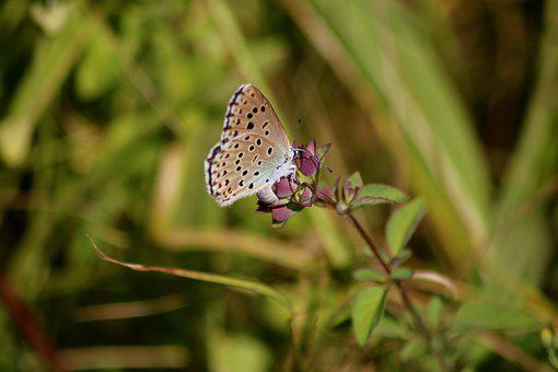 Small Blue Butterfly, Cupido Minimus, Blue, Butterfly