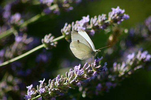 Cabbage White Butterfly, White Butterfly, Butterfly