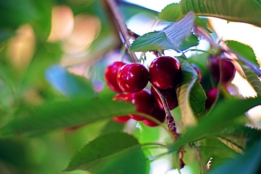 Cherry, Tree, Red, Garden, Nature, Color, Colorful