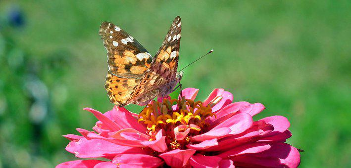 Butterfly, Insect, Colored, Wings, Closeup, Flower