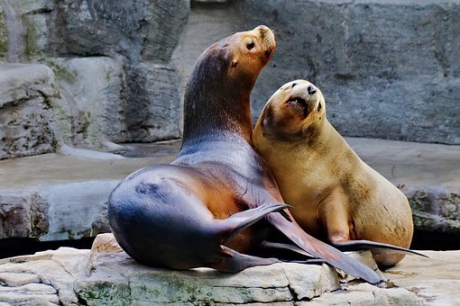 Sea Lions, A Pair Of, Mating, Courting, Couple, Love