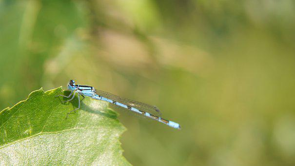 Dragonfly, Blue, Cyan, Green, Small, Insect, Nature