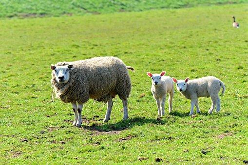 Sheep, Animal, Mammal, Even Toed, Ruminant, Wool, Ewe