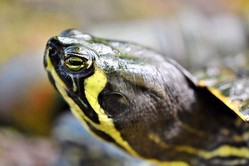 Turtle, Water Turtle, Reptile, Turtle Head, Eye