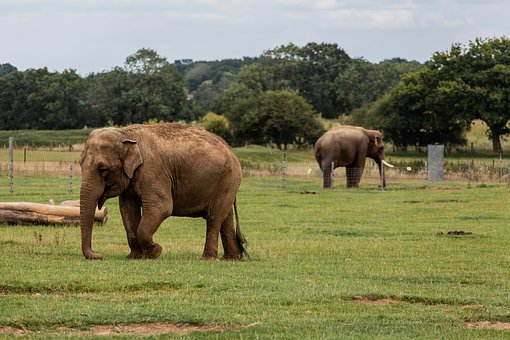 Elephants, Zoo, Field, Captive, Safari, Nature, Animal