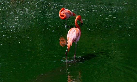 Flamingo In Green Water, Flamingos, Pink, Bird, Animal