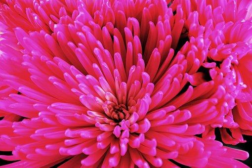 Flower, Floral, Pink, Macro, Spring, Flora, Romantic