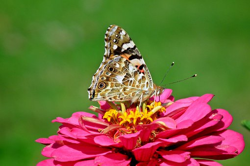 Butterfly, Insect, Colored, Flower, Zinnia, Pink