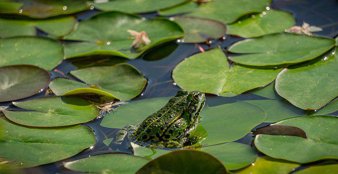 Pond, Lily Pad, Frog, Animal, Water, Nature