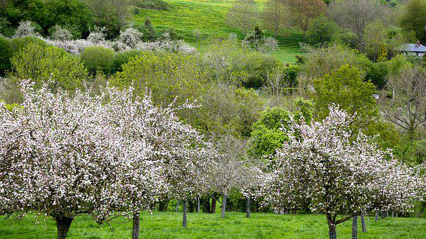 Apple, Tree, Normandy, Nature, Fruit, Spring, Flower
