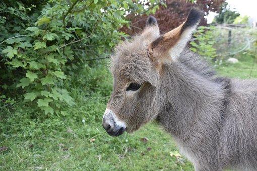Donkey, Donkey Miniature, Small Animal, Gray Donkey
