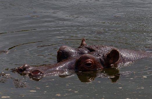 Hippopotamus, Hippopotamus In Water, Hippopotamus Head