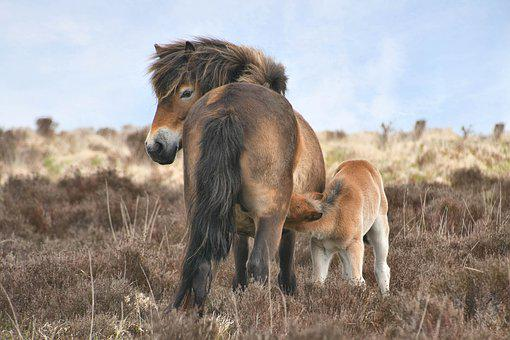 Exmoor, Horse, Nature, Pony, Graceful, Nostrils