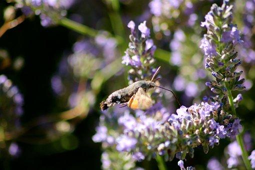 Hummingbird Hawk Moth, Moth, Insect, Proboscis, Flying