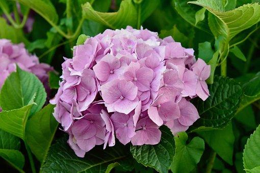 Flower, Flower Hydrangea, Hydrangea Pink Color
