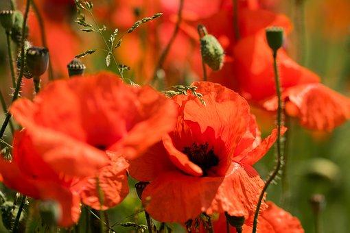 Red, Poppy, Nature, Blossom, Bloom, Klatschmohn