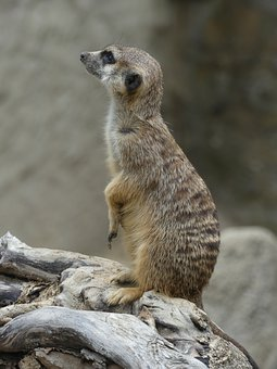 Meerkat, Wildlife, Africa, Animal, Animal World, Mammal