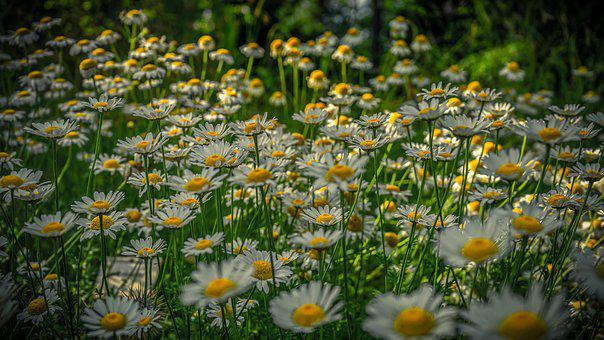 Marguerite, Flowers, Nature, Blossom, Bloom, Plant