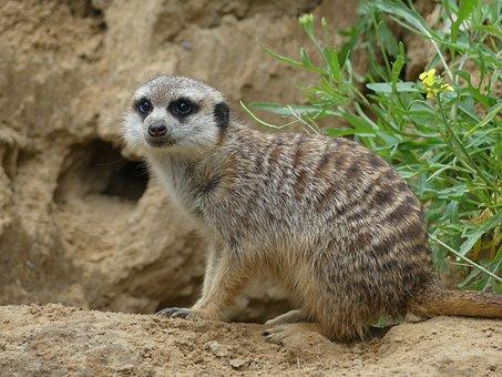 Meerkat, Wildlife, Africa, Animal, Animal World, Mammal