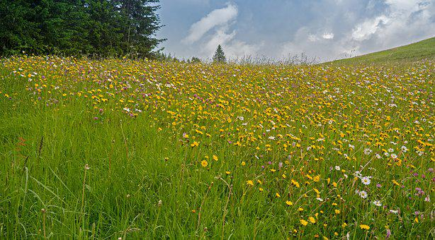 Mountain Meadow, Alpine Meadow, Mountain Flowers