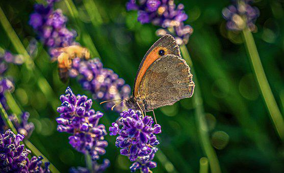 Lavender, Butterfly, Nature, Insect, Summer, Flower