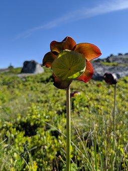 Northern Pitcher Flower, Sarracenia Purpurea