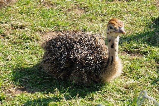 Bouquet, Ostrich Farm, Ostrich Chicks, Farm