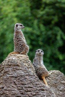 Meerkats, Meerkats On Watch, Pair Of Meerkats, Look