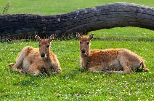 Pere Davids Deer, Pere Davids Female Deer, Female Deer