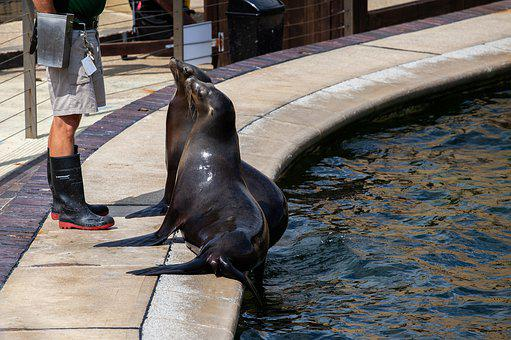 Sealion, Sea Lion, Female Sea Lion, Performing Sealion