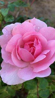 Pink, Rose, Water