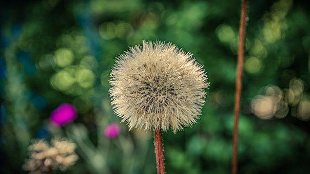 Dandelion, Flower, Nature, Seeds, Meadow, Plant